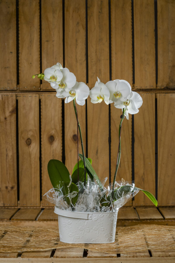 Plant Phalaenopsis Orchid Redlands Flowers